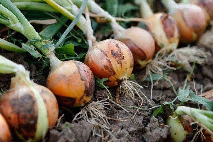 How To Plants Onions?