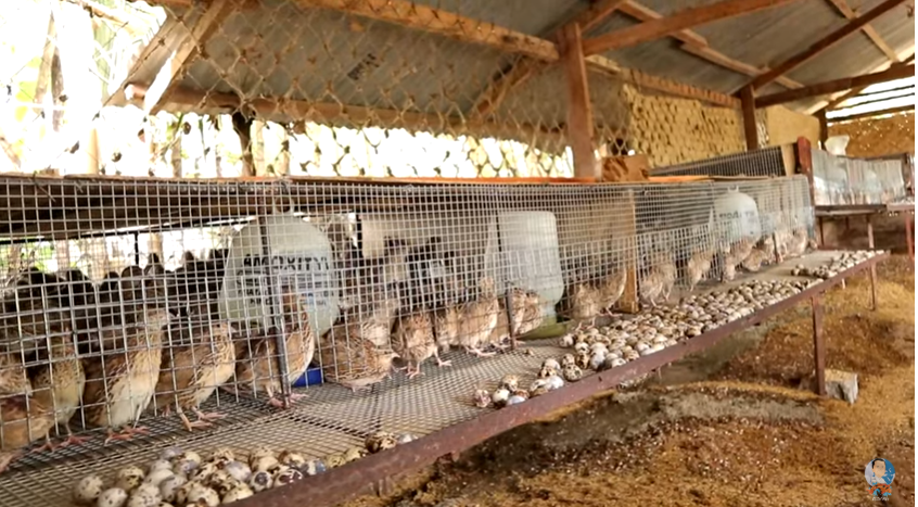 profitable quail farming