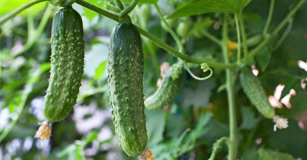 bush and vining cucumbers