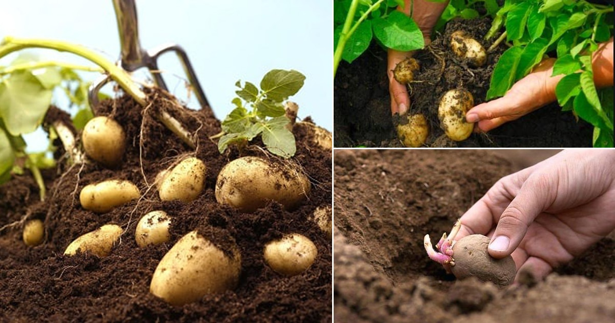 growing potatoes at home