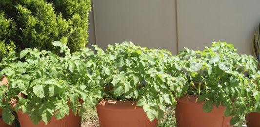 growing potatoes in pots