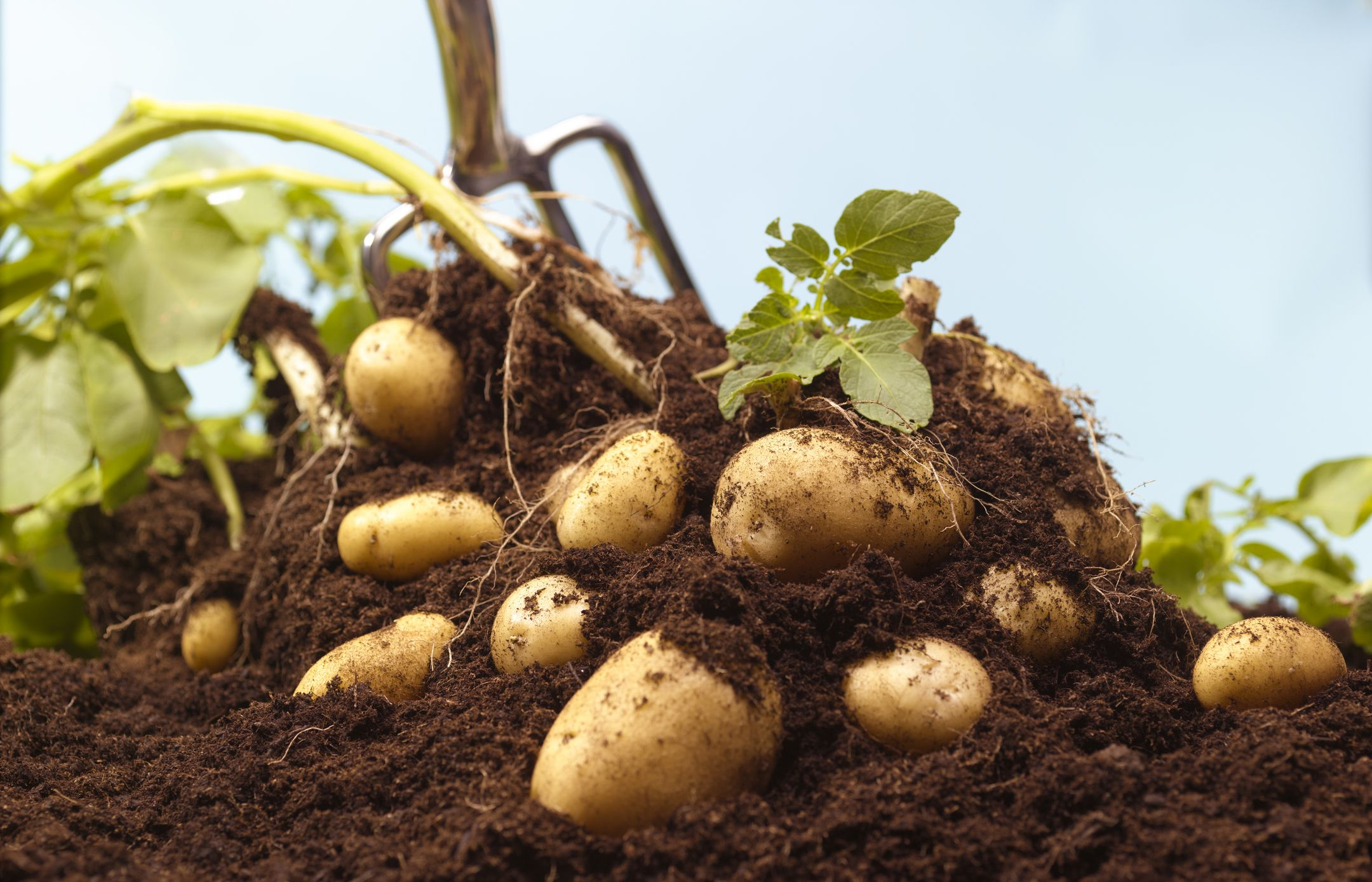 How To Grow Potatoes At Home The Essential Guide To Improve Your Harvest Vilee