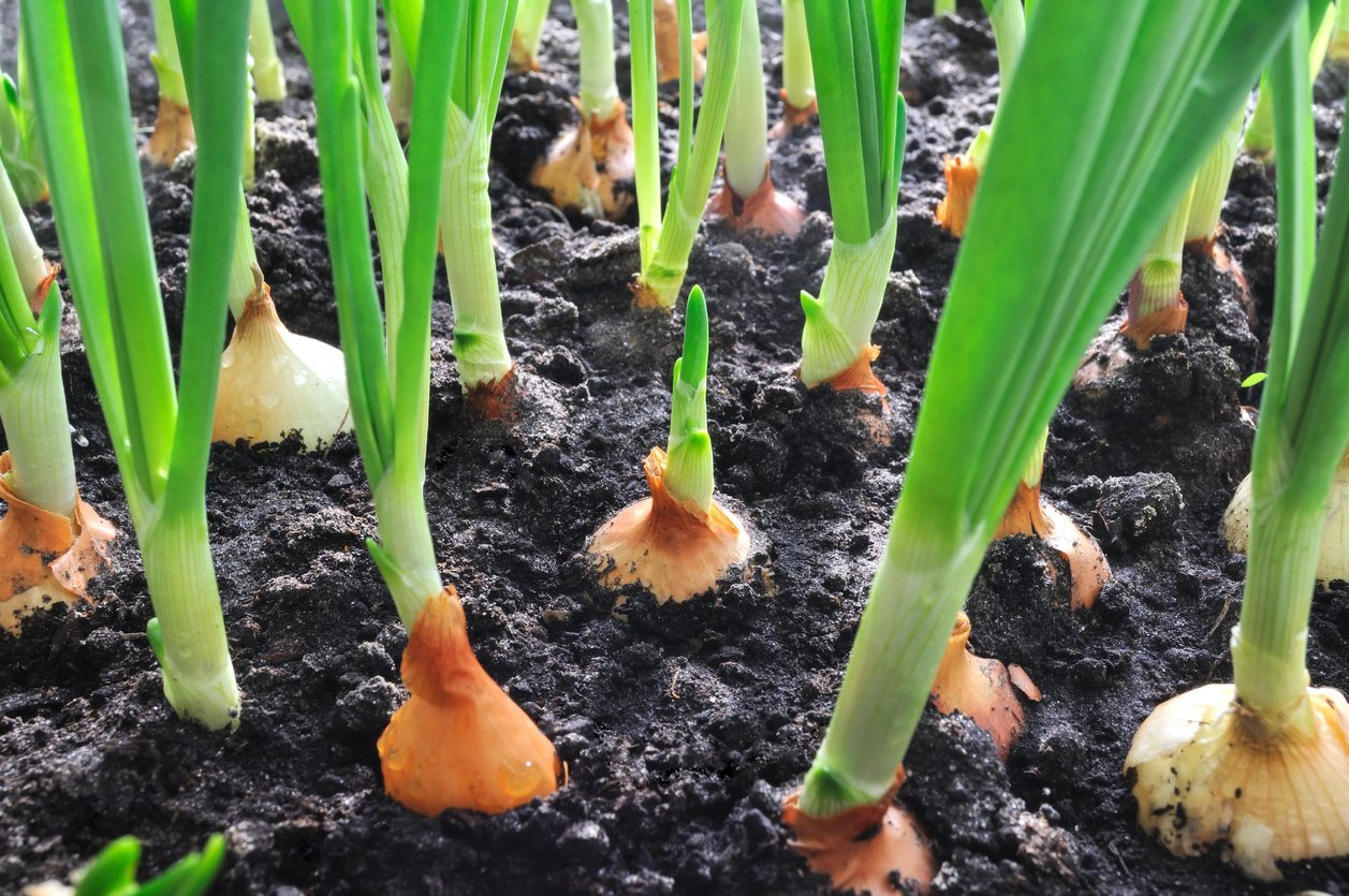 gow to grow onions at home
